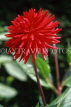 UK, LONDON, Holland Park, flowers, red Semi Cactus Dahlia, UK7434JPL