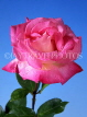 UK, LONDON, Holland Park, pink Rose, UK5438JPL
