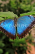 UK, LONDON, Natural History Museum, Butterfly House, Blue Morpho, Central America, UK41680JPL