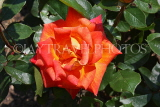 UK, LONDON, Putney, Bishop's Park, Rose Garden, orange Rose, UK14893JPL
