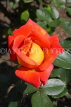 UK, LONDON, Putney, Bishop's Park, Rose Garden, orange Rose, UK14900JPL