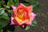 UK, LONDON, Putney, Bishop's Park, Rose Garden, orange Rose, UK14903JPL