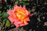 UK, LONDON, Putney, Bishop's Park, Rose Garden, orange Rose, UK24276JPL