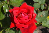 UK, LONDON, Putney, Bishop's Park, Rose Garden, red Rose, UK14896JPL