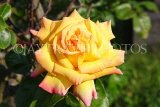 UK, LONDON, Putney, Bishop's Park, Rose Garden, yellow Rose, UK14899JPL