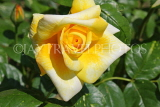 UK, LONDON, Putney, Bishop's Park, Rose Garden, yellow Rose, UK14905JPL