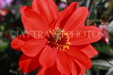 UK, LONDON, Regent's Park, Queen Mary's Garden, red Dahlia flower and bee, UK9379JPL