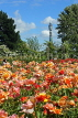 UK, LONDON, Regent's Park, Rose Garden, and BT Tower in background, UK15539JPL