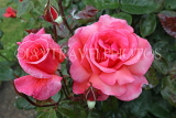 UK, LONDON, Regent's Park, Rose Garden, deep pink roses, UK8546JPL