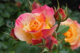 UK, LONDON, Regent's Park, Rose Garden, orange pink roses, UK8543JPL