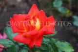 UK, LONDON, Regent's Park, Rose Garden, orange red rose, UK15611JPL