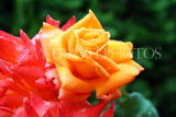 UK, LONDON, Regent's Park, Rose Garden, orange rose, UK15607JPL