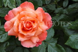 UK, LONDON, Regent's Park, Rose Garden, orange rose, UK8541JPL