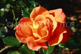 UK, LONDON, Regent's Park, Rose Garden, orange rose, UK9336JPL