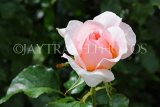 UK, LONDON, Regent's Park, Rose Garden, pink white rose, UK15533JPL
