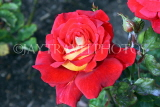 UK, LONDON, Regent's Park, Rose Garden, red  yellow rose, UK15529JPL