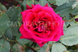 UK, LONDON, Regent's Park, Rose Garden, red rose, UK15522JPL
