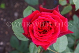 UK, LONDON, Regent's Park, Rose Garden, red rose, UK15523JPL