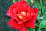 UK, LONDON, Regent's Park, Rose Garden, red rose, UK15528JPL