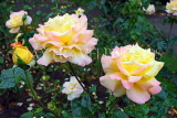 UK, LONDON, Regent's Park, Rose Garden, rose, pale and yellow pink colours, UK15617JPL