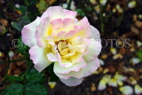 UK, LONDON, Regent's Park, Rose Garden, rose, pale colours, UK15615JPL