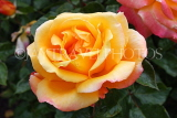 UK, LONDON, Regent's Park, Rose Garden, yellow orange rose, UK15532JPL