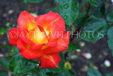 UK, LONDON, Regent's Park, Rose Garden, yellow orange rose, UK15612JPL