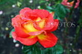 UK, LONDON, Regent's Park, Rose Garden, yellow orange rose, UK15613JPL