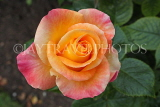 UK, LONDON, Regent's Park, Rose Garden, yellow orange rose, UK8545JPL
