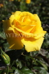 UK, LONDON, Regent's Park, Rose Garden, yellow rose, UK9339JPL