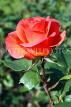 UK, LONDON, Regent's Park, Rose Gardens, bright red rose, UK15250JPL