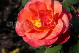 UK, LONDON, Regent's Park, Rose Gardens, bright red rose, UK15253JPL