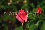 UK, LONDON, Regent's Park, Rose Gardens, deep pink Rose bud, UK7387JPL
