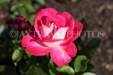 UK, LONDON, Regent's Park, Rose Gardens, deep pink rose, UK15143JPL