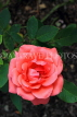 UK, LONDON, Regent's Park, Rose Gardens, deep pink rose, UK29840JPL