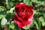 UK, LONDON, Regent's Park, Rose Gardens, deep red rose, UK15029JPL