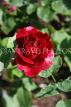 UK, LONDON, Regent's Park, Rose Gardens, deep red rose, UK15030JPL