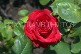 UK, LONDON, Regent's Park, Rose Gardens, deep red rose, UK15032JPL