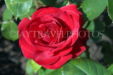 UK, LONDON, Regent's Park, Rose Gardens, deep red rose, UK15033JPL