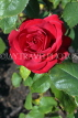 UK, LONDON, Regent's Park, Rose Gardens, deep red rose, UK15034JPL
