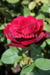 UK, LONDON, Regent's Park, Rose Gardens, deep red rose in full bloom, UK15181JPL