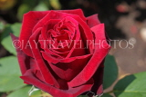 UK, LONDON, Regent's Park, Rose Gardens, deep red rose in full bloom, UK15182JPL