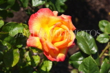 UK, LONDON, Regent's Park, Rose Gardens, deep yellow and orange rose, UK15214JPL