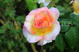 UK, LONDON, Regent's Park, Rose Gardens, multi coloured rose, UK29841JPL