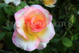 UK, LONDON, Regent's Park, Rose Gardens, multi coloured rose, UK29842JPL