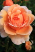 UK, LONDON, Regent's Park, Rose Gardens, orange and peach colour rose, UK29831JPL
