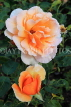 UK, LONDON, Regent's Park, Rose Gardens, orange and peach colour roses, UK29829JPL