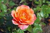 UK, LONDON, Regent's Park, Rose Gardens, orange and pink rose, UK15216JPL