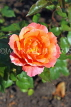 UK, LONDON, Regent's Park, Rose Gardens, orange and pink rose, UK15217JPL