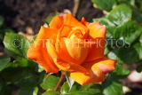 UK, LONDON, Regent's Park, Rose Gardens, orange rose, UK15022JPL